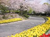 桜並木とチューリップ