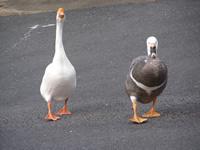 大白鳥 2羽