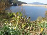 湖周辺の水仙